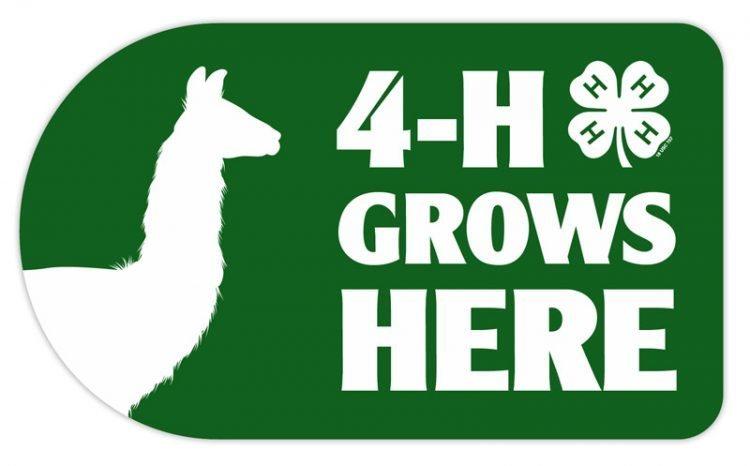 4-h sticker - llama